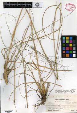 Image of Muhlenbergia subaristata