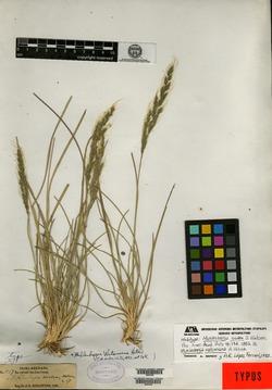Image of Muhlenbergia watsoniana