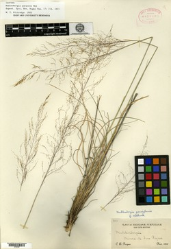 Image of Muhlenbergia purpusii