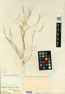 Aristida californica image