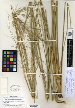 Image of Coleataenia petersonii