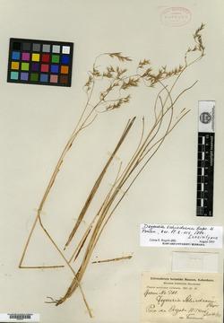 Image of Calamagrostis eriantha