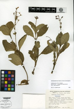 Image of Lindernia brucei