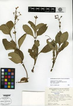 Image of Lindernia brucei