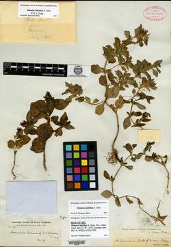 Image of Diplacus latifolius