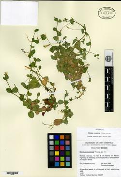 Image of Erythranthe madrensis