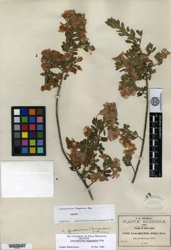 Image of Leucophyllum langmaniae