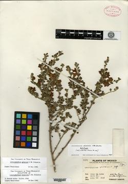 Image of Leucophyllum virescens