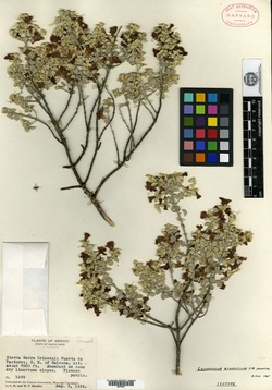 Image of Leucophyllum zygophyllum