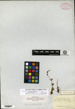 Lindernia saxicola image