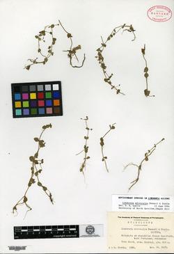 Lindernia microcalyx image