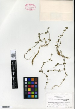 Image of Lindernia microcalyx