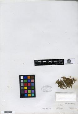 Image of Micranthemum tetrandrum