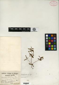 Image of Erythranthe acutidens