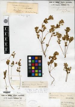 Image of Erythranthe grayi
