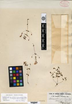 Image of Erythranthe gracilipes