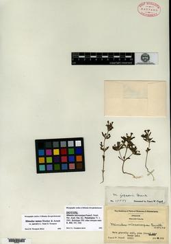 Image of Mimulus jepsonii