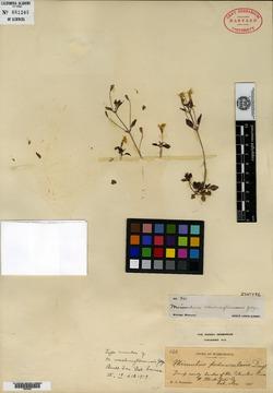 Erythranthe washingtonensis image