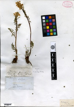 Pedicularis canbyi image
