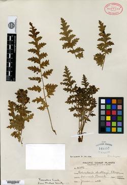 Image of Pedicularis dudleyi