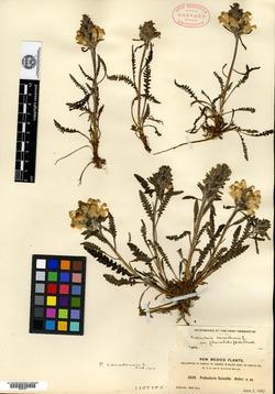 Pedicularis fluviatilis image