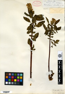 Image of Pedicularis howellii
