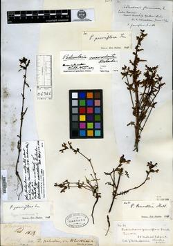 Image of Pedicularis macrodonta