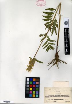 Image of Pedicularis pachyrhiza