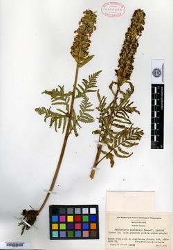 Image of Pedicularis paddoensis