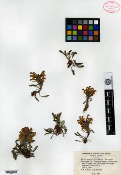 Image of Pedicularis pulchella