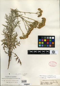 Image of Hymenopappus sulphureus