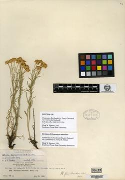 Hymenoxys floribunda image