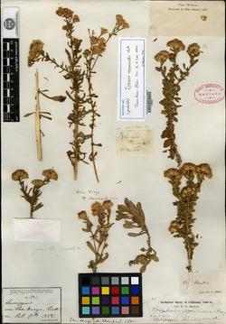 Image of Isocoma vernonioides