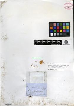 Isocoma pluriflora image