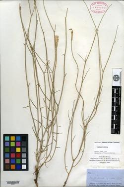 Lygodesmia ramosissima image