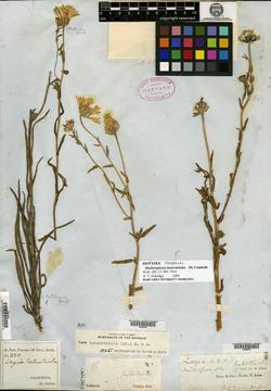 Layia heterotricha image