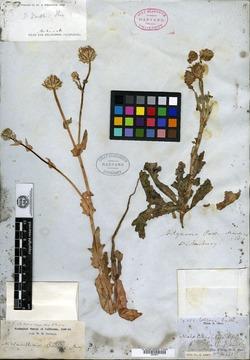 Malacothrix coulteri image