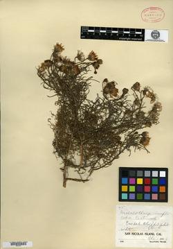 Image of Malacothrix implicata