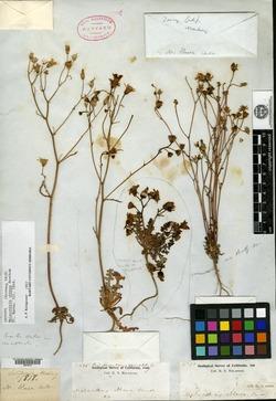 Image of Malacothrix obtusa