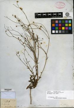 Image of Malacothrix parviflora