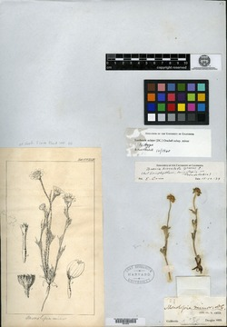 Image of Monolopia minor