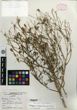 Image of Palafoxia riograndensis
