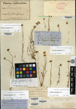 Image of Pentachaeta bellidiflora
