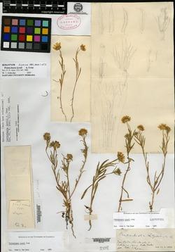 Image of Pentachaeta lyonii