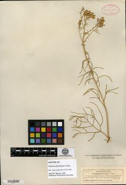 Hymenoxys microcephala image