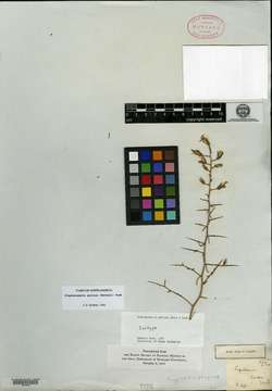 Stephanomeria spinosa image