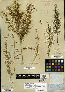 Ambrosia monogyra image