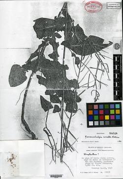 Image of Romanschulzia correllii