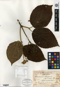 Image of Viburnum jucundum