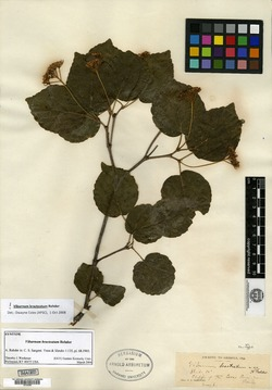 Viburnum bracteatum image